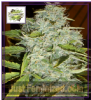 Cream of the Crop Auto Psychofruit Fem 5 Seeds